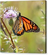 Monarch Butterfly On Thistle 2 Acrylic Print