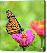 Monarch Butterfly Square Acrylic Print