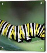 Monarch Caterpillar Macro Acrylic Print