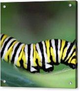Monarch Caterpillar Macro Number 2 Acrylic Print