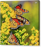 Monarch Gathering 2 Acrylic Print