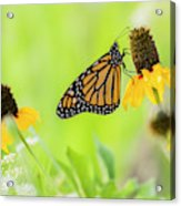 Monarch On Wildflowers Acrylic Print