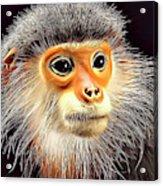 Monkey 2 Acrylic Print