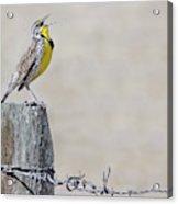 Montana Meadowlark's Spring Song Acrylic Print