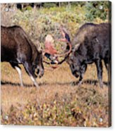 Moose Bulls Spar In The Colorado High Country Acrylic Print