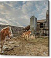 Morgan Horses Pomfret Vermont Acrylic Print