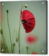Morning Poppy Flower Acrylic Print