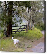 Morning Walk1 Acrylic Print