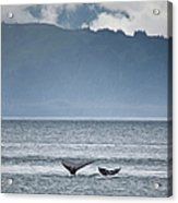 Mother And Calf Whale Tails Megaptera Acrylic Print