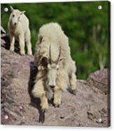 Mountain Goats- Nanny And Kid Acrylic Print