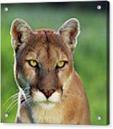 Mountain Lion Felis Concolor, Portrait Acrylic Print
