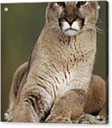 Mountain Lion Or Cougar, Felis Acrylic Print