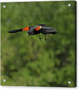 Mr. Red-winged Blackbird In-flight Acrylic Print