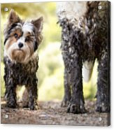 Muddy Little Dog Stands Next To A Muddy Acrylic Print