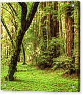 Muir Woods Forest Acrylic Print