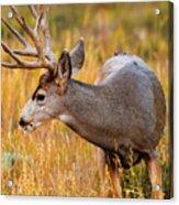 Mule Deer Buck In Rocky Mountain National Park Acrylic Print