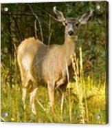 Mule Deer Doe Acrylic Print