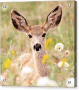 Mule Deer Fawn Lying In Wildflowers Acrylic Print
