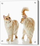 Munchkin Cats Acrylic Print