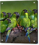 Nanday Parakeets Perched In A Row In Acrylic Print