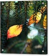 Nature's Glow Acrylic Print