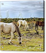 New Forest Ponies On The Heath Acrylic Print