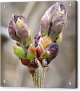 New Life In The Lilacs Acrylic Print