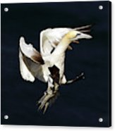 Northern Gannet - Square Crop Acrylic Print