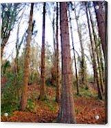 Not Sequoia Acrylic Print