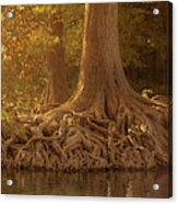 Old Cypress Tree Roots Acrylic Print