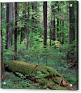 Old Growth Forest Acrylic Print