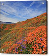 Oodles Of Poppies Fill The Walker Canyon Of Lake Elsinore, Calif Acrylic Print