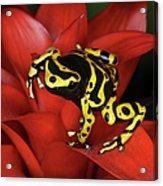 Orange Banded Dart Frog  Dendrobates Acrylic Print