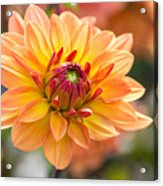 Orange Flower Chrysanthemum, Purple Acrylic Print