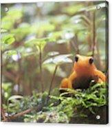 Orange Frog. Acrylic Print