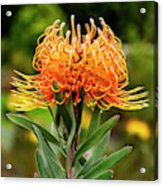 Orange Protea Acrylic Print