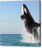 Orca Jumping Out Of Water Acrylic Print