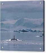 Orca Orcinus Orca, Antarctica Acrylic Print