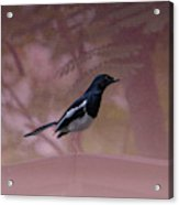 Oriental Magpie-robin With Texture Acrylic Print