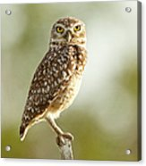 Owl On Blurred Background Acrylic Print