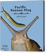 Pacific Banana Slug Acrylic Print