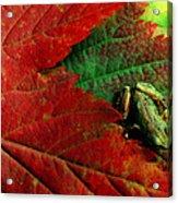 Pacific Tree Frog Hyla Regilla On Maple Acrylic Print