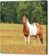 Paint Horse In Meadow Acrylic Print