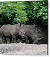 Pair Of Rhinos Standing In The Shade Of Trees Acrylic Print