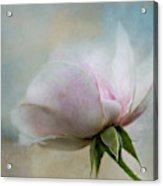 Pale Summer Rose Acrylic Print