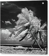 Palm Trees Blowing In Wind Acrylic Print