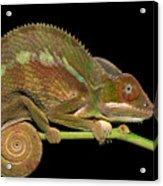 Panther Chameleon Furcifer Pardalis In Acrylic Print