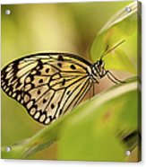 Paper Kite Butterfly Acrylic Print