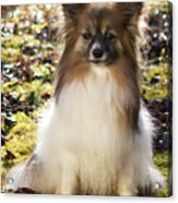 Papillon Sitting In Leaves Acrylic Print