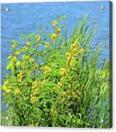Partridge Pea Acrylic Print